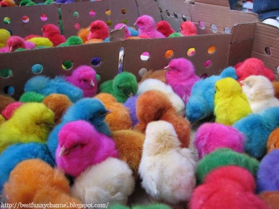 Multi-colored chicken