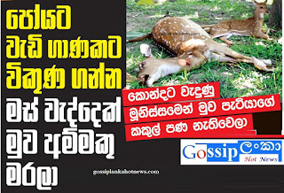 Deer shot dead  Mihintale  venison on Poya