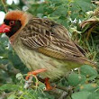 Quelea bird HD images free download