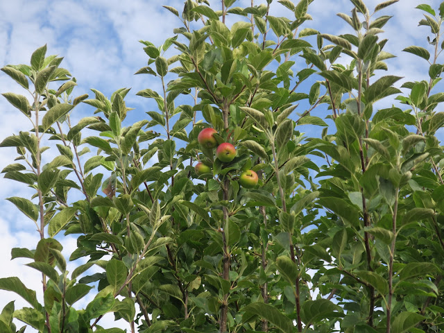 Apples ripening high on tree; with sky.