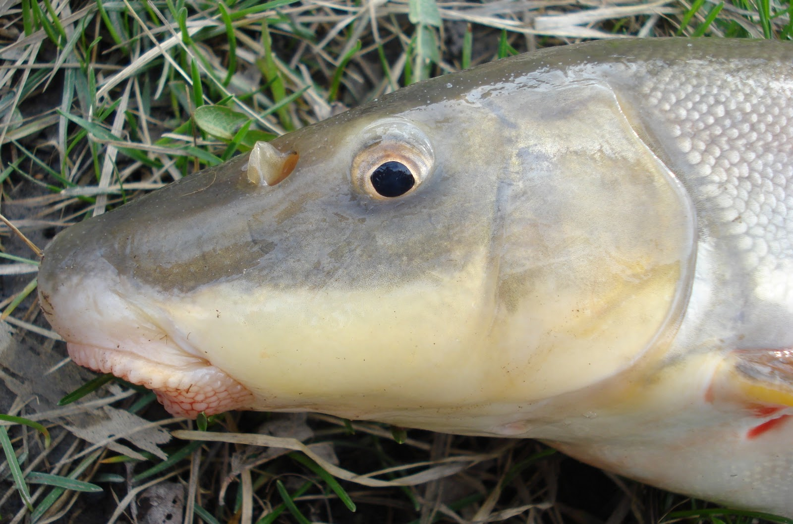 When should suckers start running in Upper Mi   roughfish.com   Sucker Fish