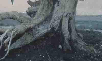 akar dan batang tanaman kemuning