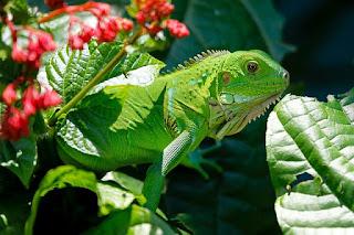Ukuran Iguana Berdasarkan Usia atau Umur