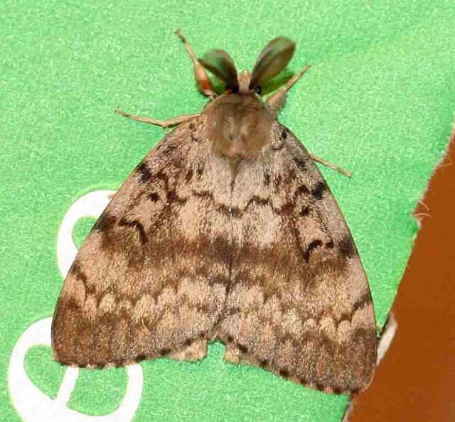 Schwammspinner, Lymantria dispar