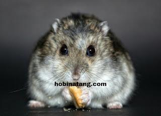 Hamster Hewan Peliharaan Lucu di Rumah yang Mudah Dipelihara dan Murah