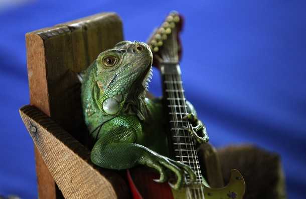 Funny Iguana Pets Cute And Docile