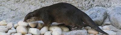 nutria de nariz peluda Lutra sumatrana