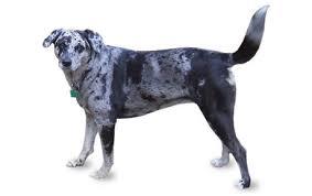 Anjing Ras Catahoula Cur