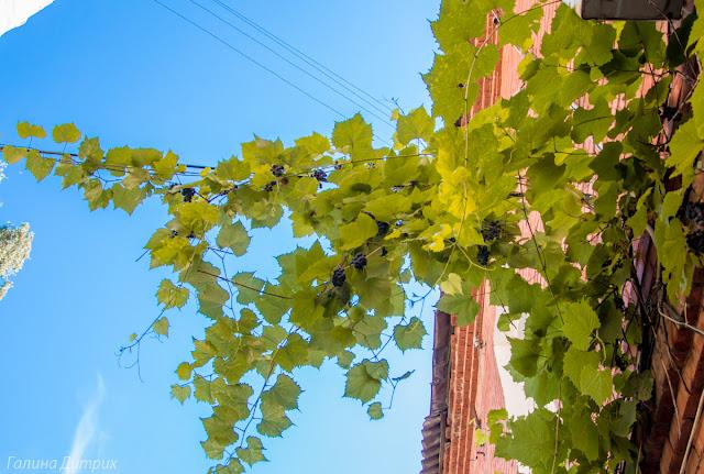 Виноград Воронеж