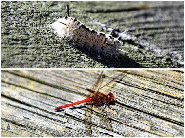 white Hickory Tussock Mock Caterpillar