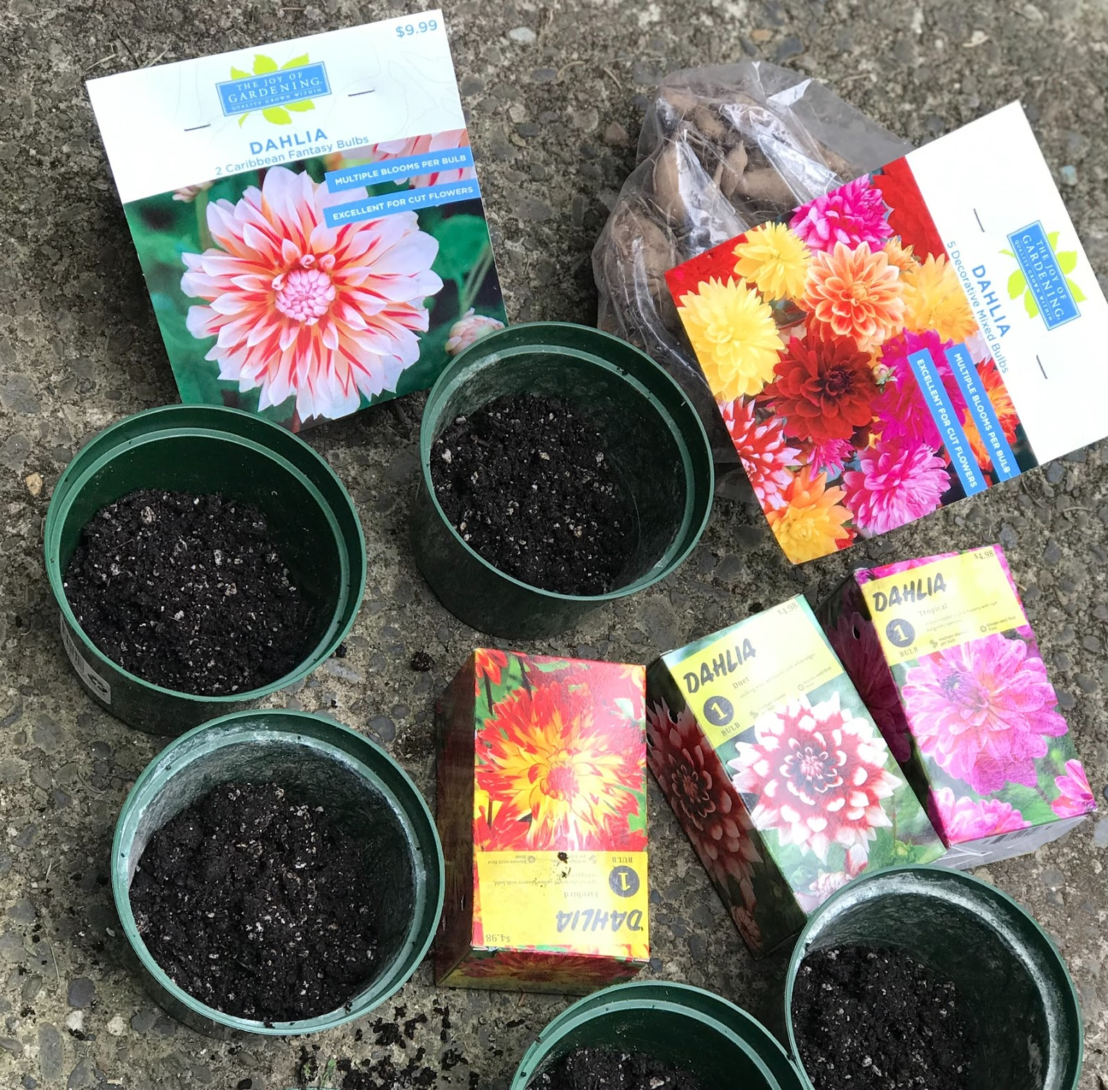 Growing Greener In The Pacific Northwest Big Box Store Dahlia