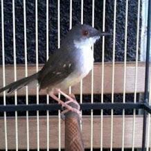 Manfaat Perawatan Dan Pelatihan Burung Ciblek Dari Anakan
