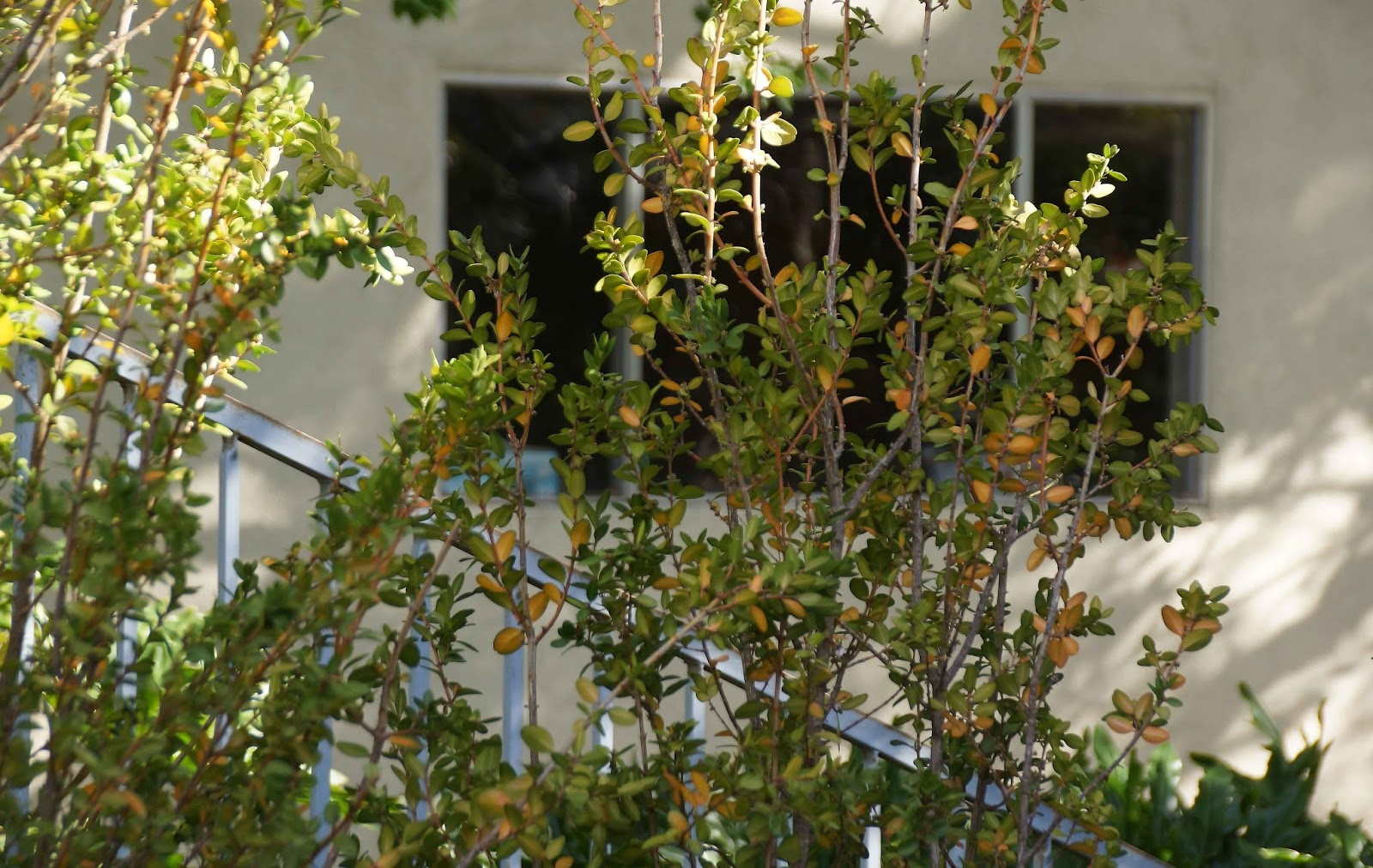 narrow screening plants for southern california  part i