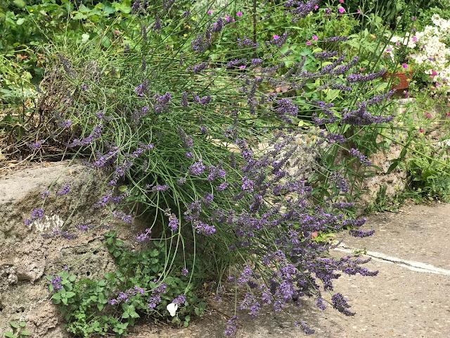 blühender Lavendel hängt über die Steinmauer (c) by Joachim Wenk