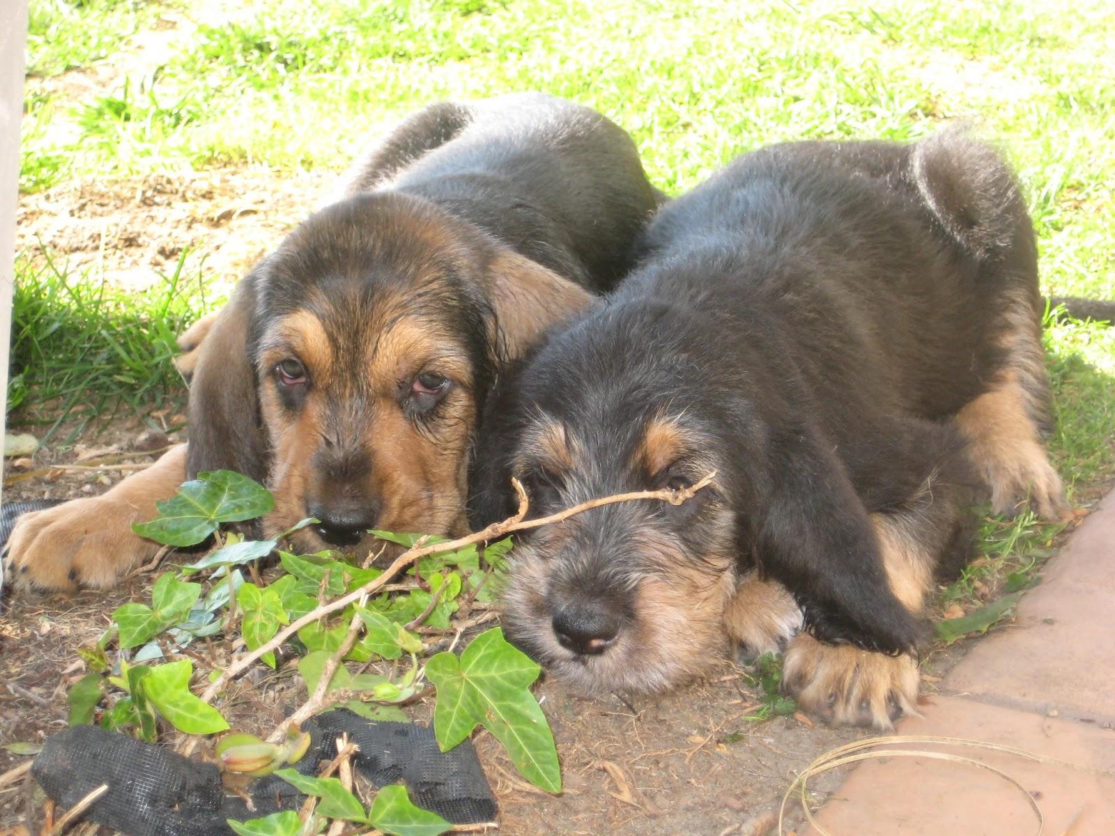 Training Otterhound Puppies