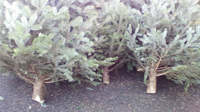 Grow your own Christmas trees Green Fingered Blog