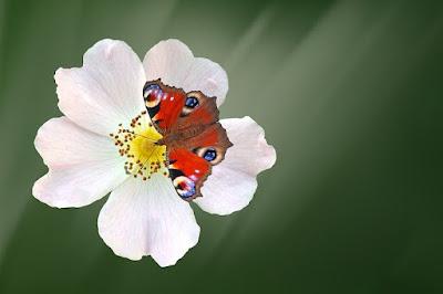 ảnh hoa hồng tầm xuân