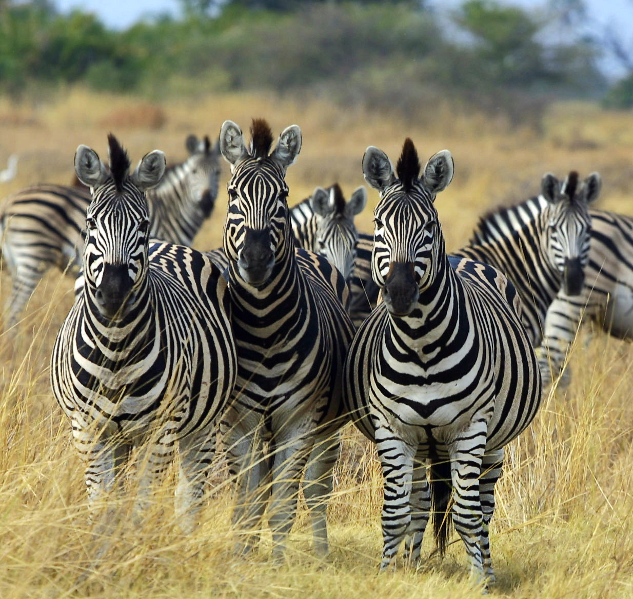 zebras and lions - photo #1