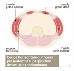 Coupe transversale des abdominaux