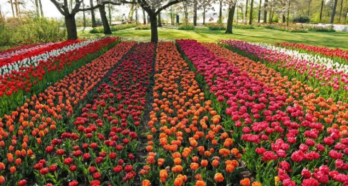 Un millón de tulipanes en el parque en memoria de Indira Gandhi