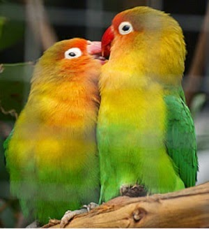 khususnya yang ingin beternak lovebird banyak menemukan hambatan dikala proses penangkaran CARA TERNAK LOVEBIRD AGAR SUKSES DAN BERHASIL