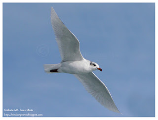 https://bioclicetphotos.blogspot.fr/search/label/Mouette%20m%C3%A9lanoc%C3%A9phale%20-%20Ichthyaetus%20melanocephalus