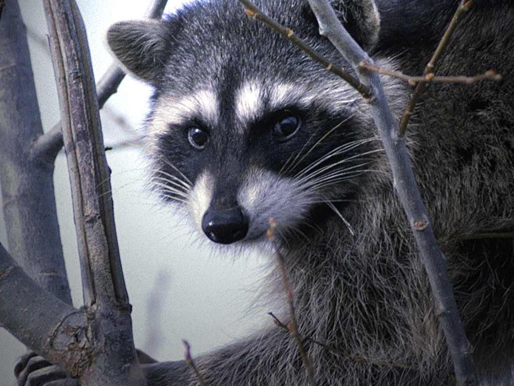 Adam Barralet's Bloody Good Things To Know: Animal of the ... Raccoon Face