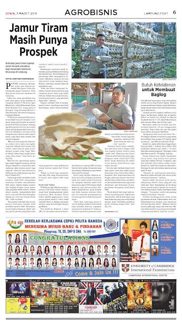 bibit-f2-baglog-Jamur0-tiram-murah-lampung-bengkulu-palembang-jambi-pekanbaru-riau-Lampost 07-03-2016