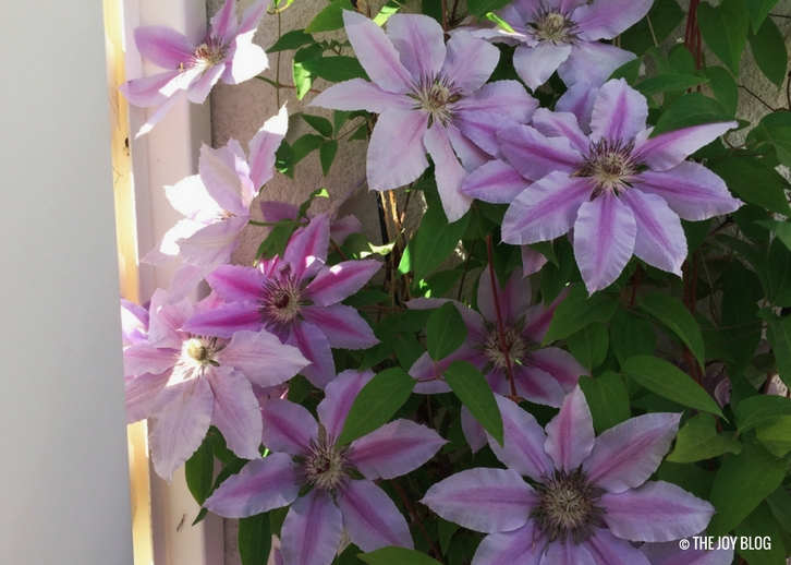 Nelly Moser Clematis // www.thejoyblog.net
