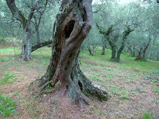 Olive tree along the Gulf of the Poets