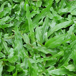 Cây cỏ gừng là cây gì? có tác dụng gì? dùng để làm gì?