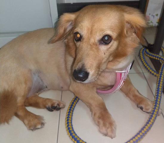 狗狗罹患白內障,水晶體會變得混濁。