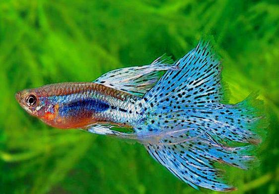 pemijahan ikan guppy