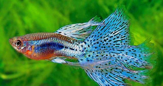 Teknik Pemijahan Ikan Guppy Simpel Dan Dijamin Sukses Superperikanan