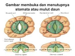 PROSES MEKANISME MEMBUKA DAN MENUTUPNYA STOMATA