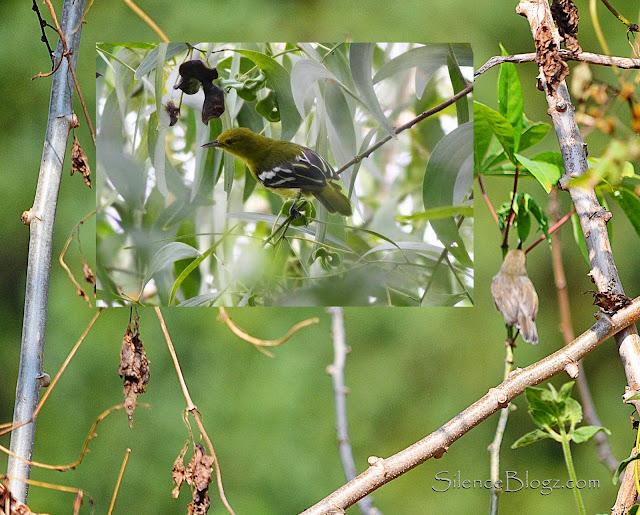 Common Iora - birding activity Majlis daerah hulu selangor