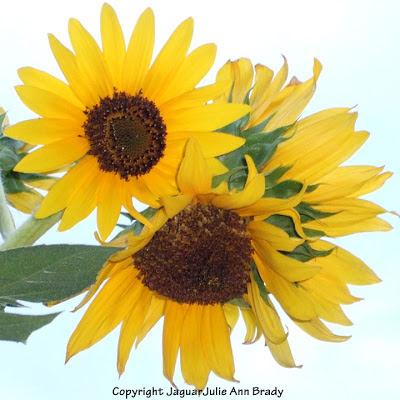 Multi Headed Yellow Sunflower Blossoms
