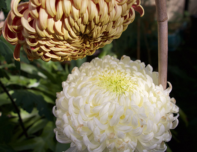 Growing with plants Winter Conservatory Chrysanthemums