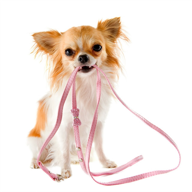 Cute chihuahua holding a leash.
