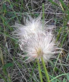 Замечательный цветок СОН ТРАВА завязал семена