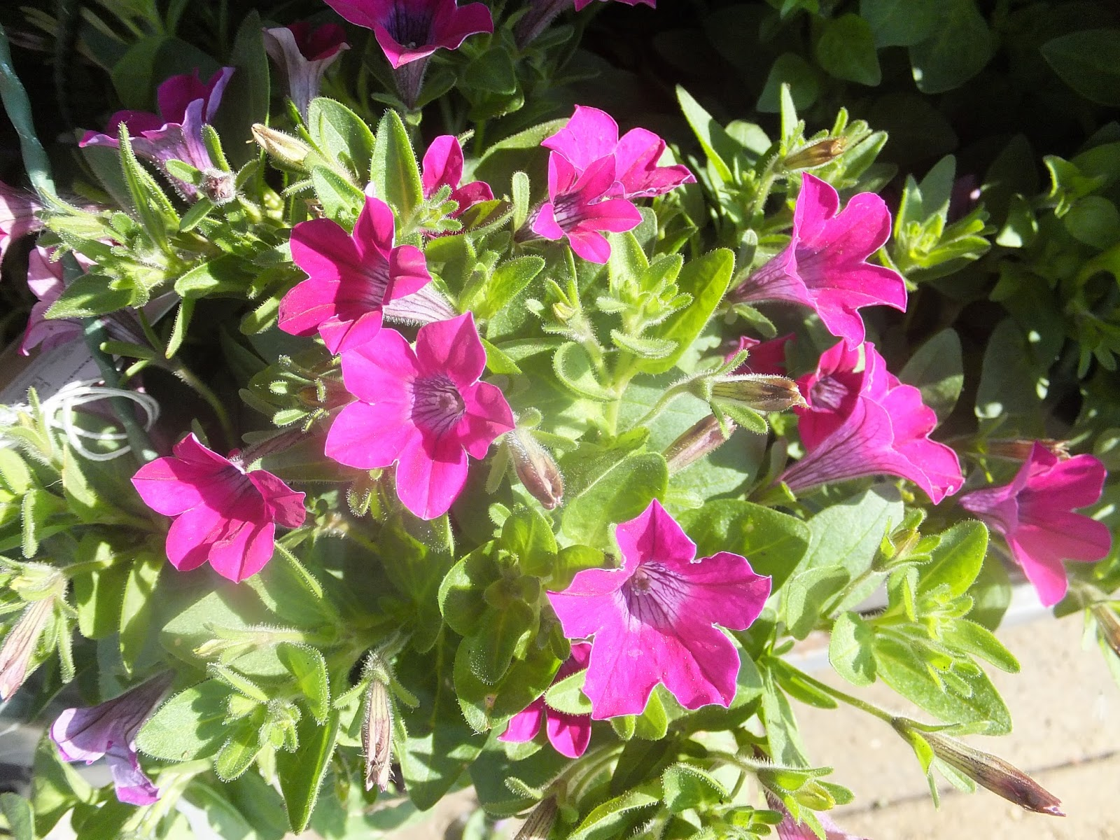 Ready Made Flower Hanging Baskets : Creating an edible garden with homebase and kids part