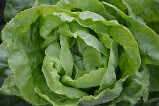 lettuce-marouli