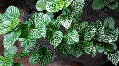 Asystasia rendada - Asistasia gangetica