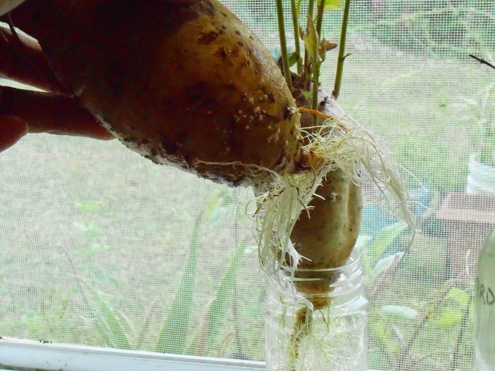 How to grow sweet potato slips from supermarket groceries. Sweet potato roots.