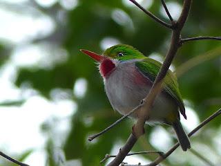 Todier de Cuba - Todier multicolore - Todus multicolor