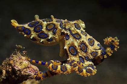 Blue Ringed Octopus Locomotion