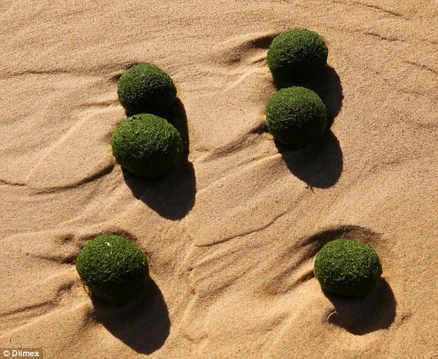 Australia: Mysterious green eggs on the beach