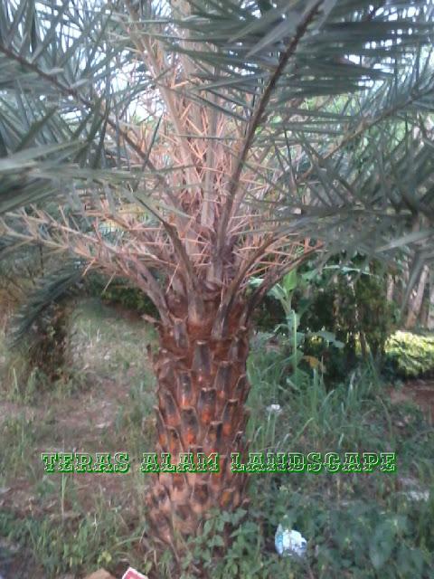 tukang pohon palem kenari