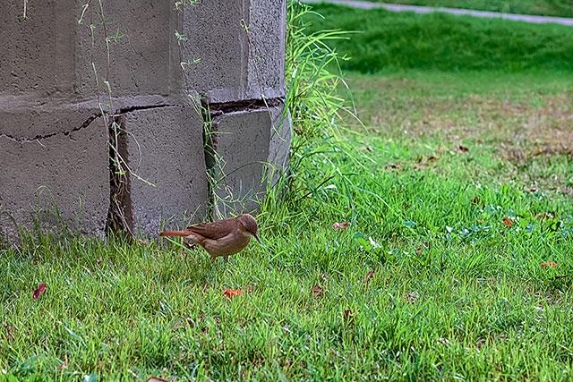 Un solitario gorrión sobre la gramilla en actitud de pensar