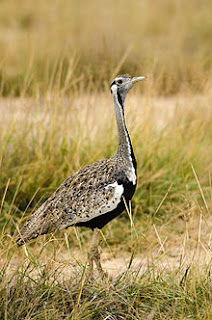 this birding safari will also reward you with birds like, red breasted sparrow hawk, African piculet, African pied horn bills, Zenkel, Red billed, piping